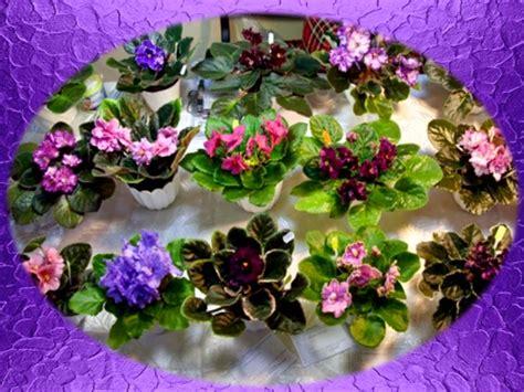 como cuidar de violetas africanas plantas m 193 gicas como cuidar la violeta africana