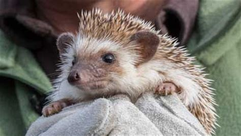 groundhog day oregon zoo ore zoo hedgehog predicts an early in nw kgw