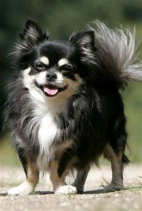 long hair chihuahua hair growth what to expect 25 best ideas about long hair chihuahua on pinterest