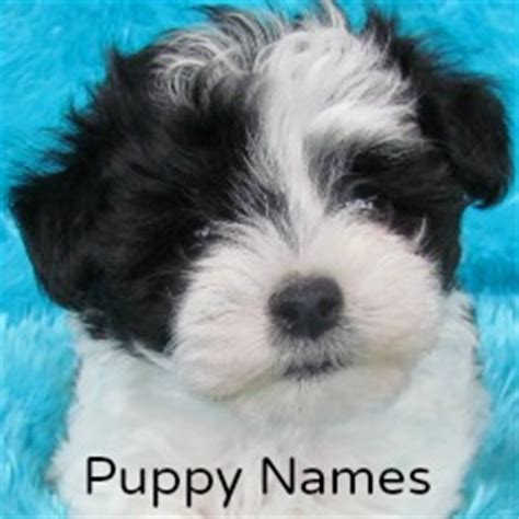 names for boys shih tzu shih tzu surveys
