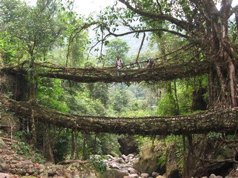 living bridges deep in the jungles of india bridges aren t built they