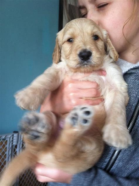 goldendoodle puppy phases golden doodle coat types