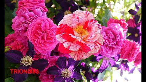 las imagenes mas extraordinarias las rosas mas bonitas del mundo las flores mas hermosas