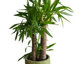 yucca palme schlafzimmer beliebte zimmerpflanzen beliebte zimmerpflanzen sch ne
