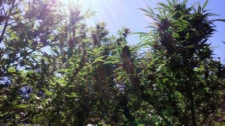 cannabis grow light breakdown heat cost yields grow