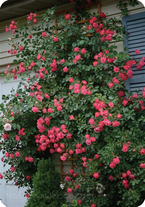 growing a flower carpet 174 rose as a climber