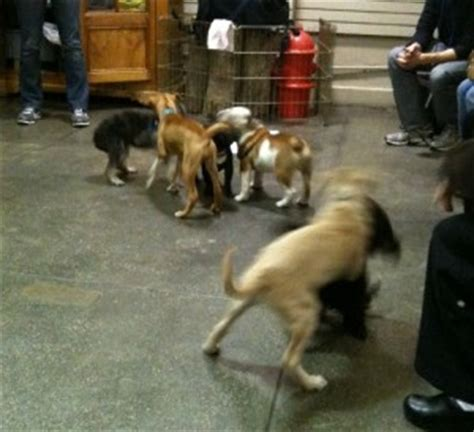 puppy play groups yappy hours and puppy playgroups around new york city nyc resources