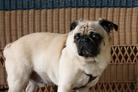 original pug breed free images puppy pug vertebrate breed like mammal carnivoran