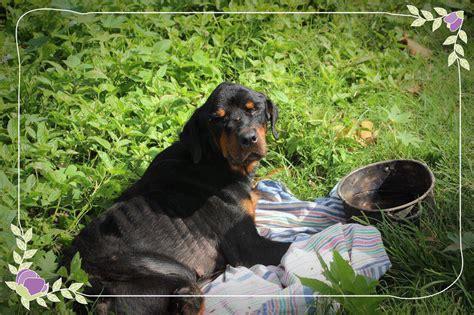 backyard dog breeders the victims of backyard dog breeding dogstar foundation
