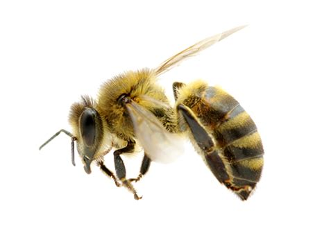 Sprei Honey Bee absolute termite pest hawaii llc honey bee removal