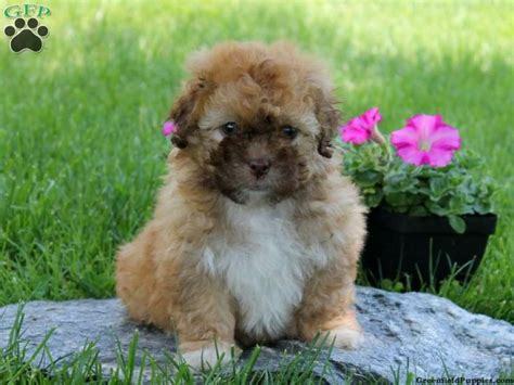 shichon puppies for sale in pa 100 ideas to try about what i like shichon puppies for sale studs and denver