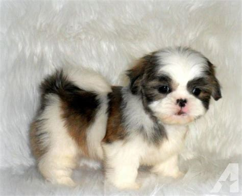 imperial shih tzu shih tzu puppies for sale and shih tzu breeders breeds picture