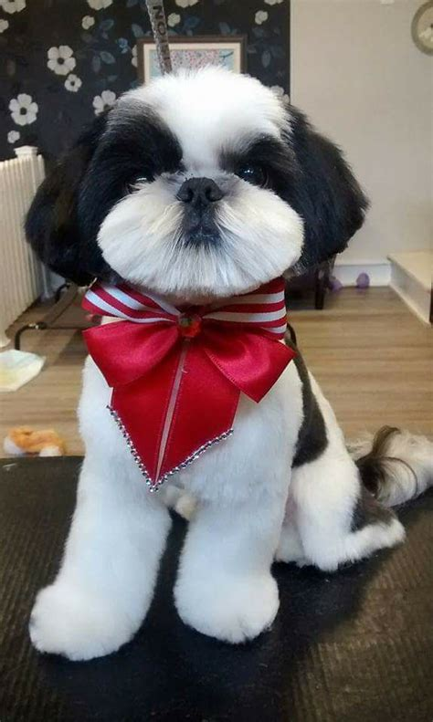 shih tzu how much they cost shih tzu petsync