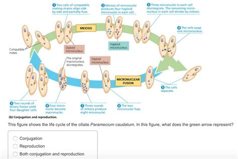 this diagram of the human cycle shows that this figure shows the cycle of the ciliate pa