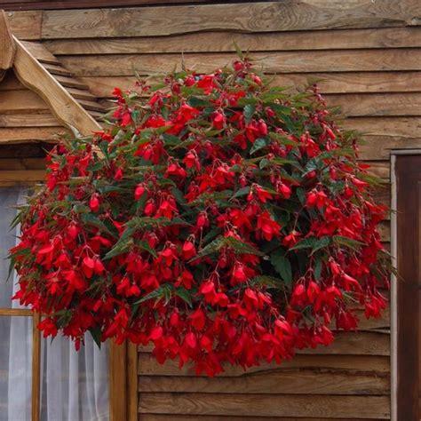 beautiful flowering plants   grow begonia