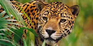 How Do Jaguars Adapt To The Rainforest Vive Ecuador