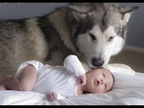 cute dogs and adorable babies compilation youtube husky siberian and babies playing videos compilation 2016