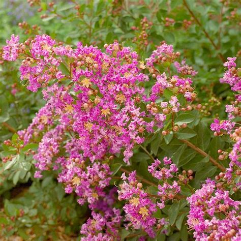 popular flowering shrubs best flowering shrubs for hedges