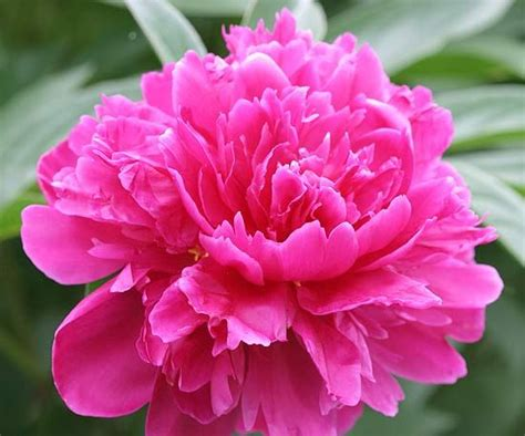 best fragrant plants best fragrant flowers for the midwest