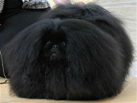black fluffy puppy pics for gt black and white fluffy puppy