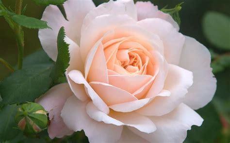 rosa mistica fiore significato rosa significato dei fiori conoscere il