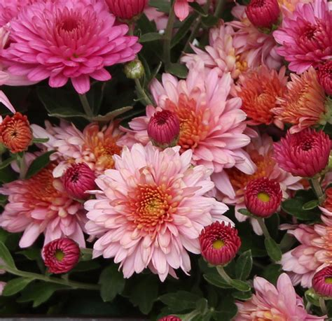 fall garden mums fall garden mums in arrangements sowing the seeds
