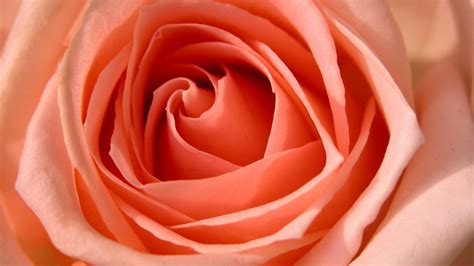 rose hdtv p wallpapers hd wallpapers id