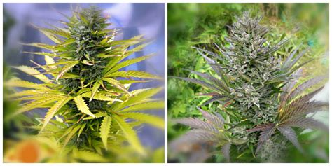 sweet tooth auto review autoflowering cannabis blog