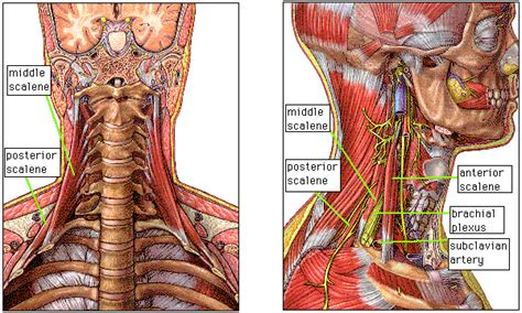 Scalene Muscles | Breise! Breise! Extra! Extra! Scalene Muscles