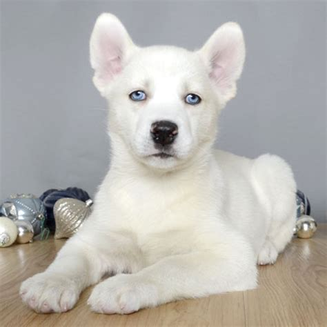 just puppies orlando fl siberian husky 3002 899