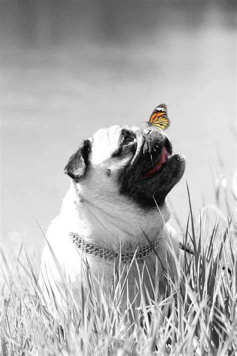 pug butterfly a butterfly on a pugs nose look at my pug on https www