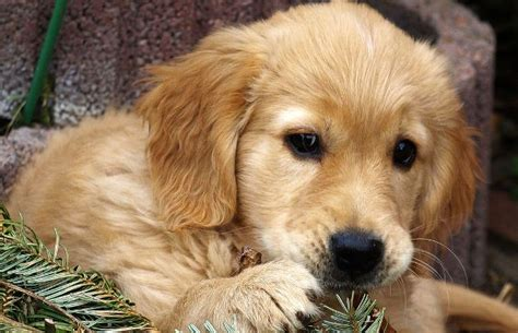how do golden retrievers live golden retriever faq totally goldens