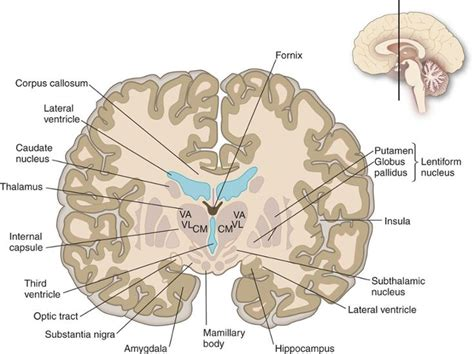 coronal sections of the brain 17 best images about ap2 on pinterest cerebrospinal