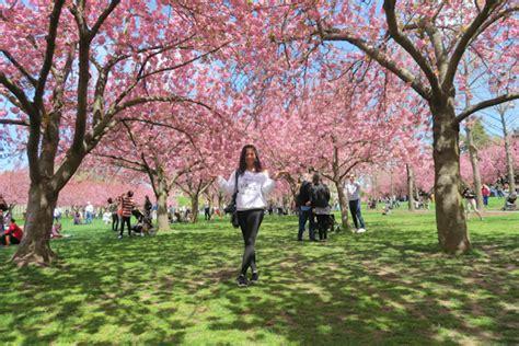 cherry blossom botanical garden botanic garden cherry blossom season 2017 the