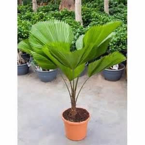 licuala 110 130 cm plantes et jardins
