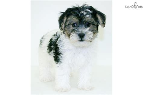 havanese breeder ohio havanese puppy for sale near columbus ohio 8da51ca0 e6f1