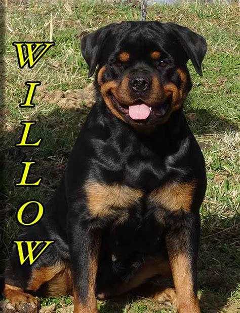 german rottweiler puppies for sale in mississippi rottweiler breeders rottweiler puppies for sale german rottweilers for sale