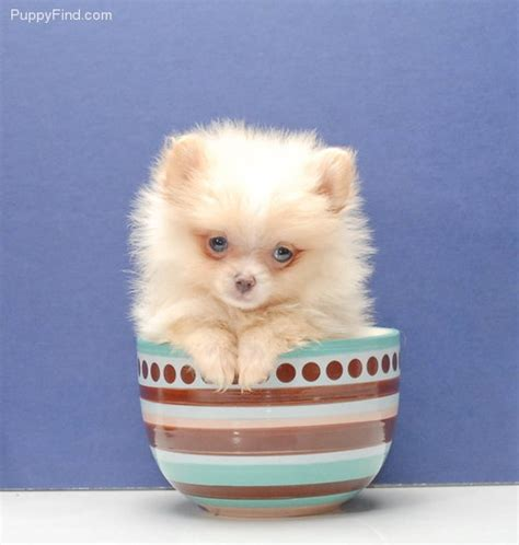 pomeranian kills baby 17 best ideas about teacup pomeranian on teacup pomeranian puppy teacup