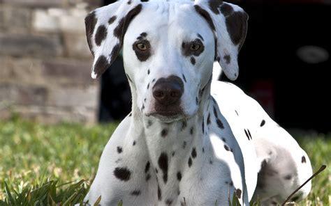 dalmatian puppy price dalmatian desktop wallpaper 50345 1920x1200 px hdwallsource