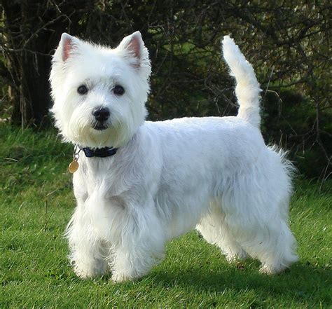diagram for cutting a westie related keywords suggestions for westie cut