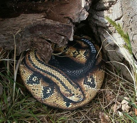 Garden Snake Rattle Costa Rattlesnake Painted Rock Snake