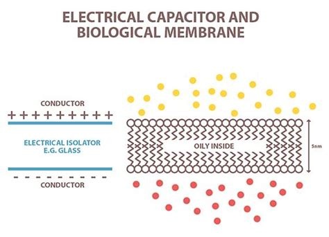 electrical capacitor function neural regulation of human processes from the neuron to the behaviour interdisciplinary