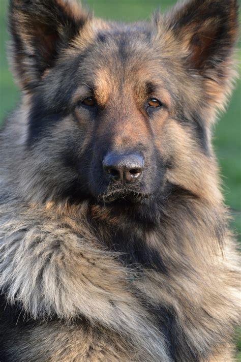 shiloh shepherd puppies shiloh vs german shepherd breeds picture