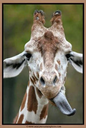 what color is a giraffe s tongue a level chemistry at the alun what colour is a giraffe s