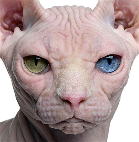 swings katze nacktkatzen zucht erlaubt oder verboten katzengenetik