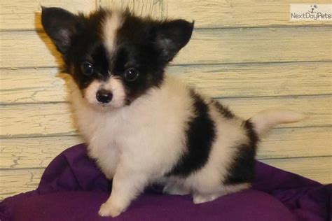 chion puppies for sale meet peppers a papillon puppy for sale for 600 chion precious tiny peppers