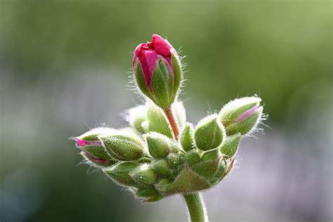 boccioli di fiori boccioli di geranio controluce foto immagini macro e