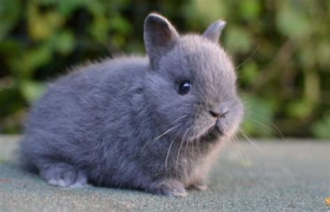 coniglietti nani alimentazione nano colorato la stalla dei conigli allevamento e