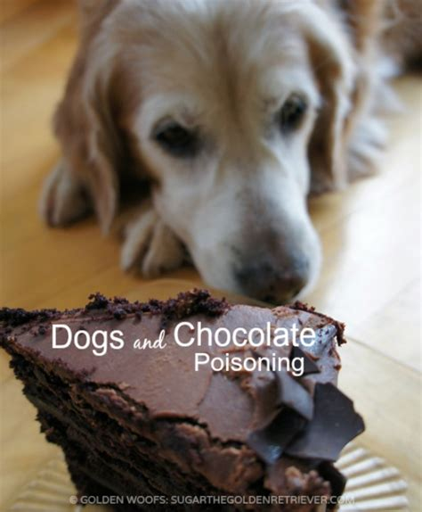 chocolate toxicity dogs and chocolate poisoning golden woofs