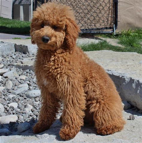 southern indiana poodle rescue miniature goldendoodle breeds picture